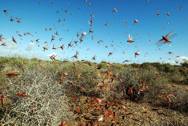 Life Among a Billion Locusts